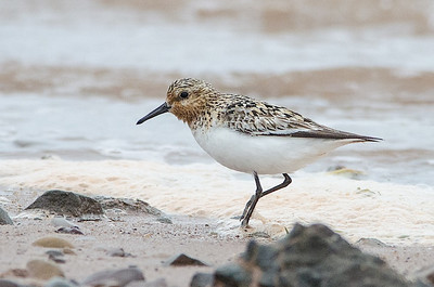 Adult F.Sanderling, Grand Pre