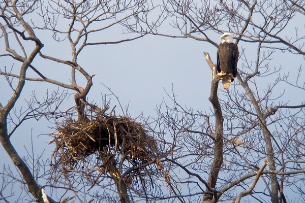 Guarding the nest, Grand Pre