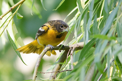 F.Baltimore Oriole