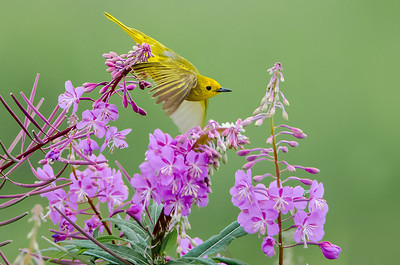 Yellow Warbler in Fireweed