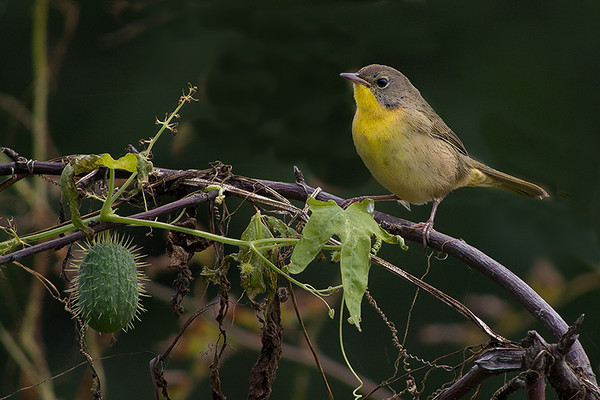 C.Yellowthroat, Miner's Marsh