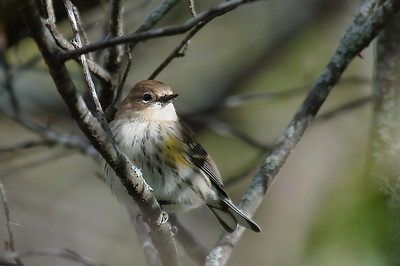 Y-R Warbler, Port Williams