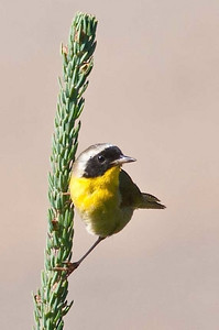 C.Yellowthroat, Brier