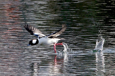 Bufflehead Take-off .....