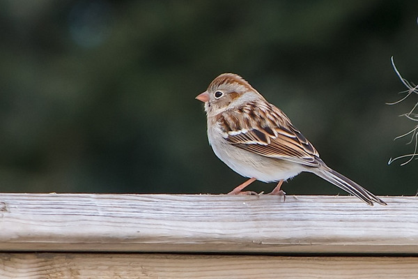 Field Sparrow, Waterville